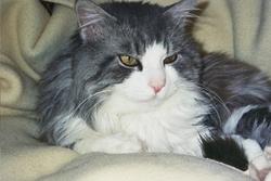 Lulu, chat Européen