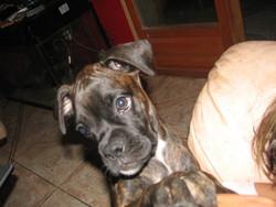 Kiera, chien Boxer