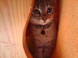 Savana, chat Gouttière