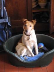 Sami, chien Jack Russell Terrier