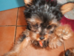 Framboise, chien Yorkshire Terrier