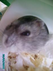 Boul, rongeur Hamster