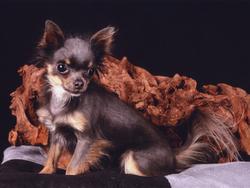 Chiquita, chien Chihuahua