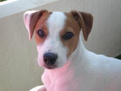 Pilou, chien Jack Russell Terrier