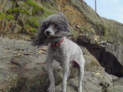 Narvick, chien Caniche