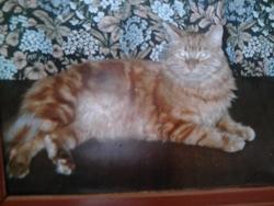 Moumousse, chat Angora turc