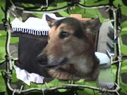 Junior , chien Berger allemand
