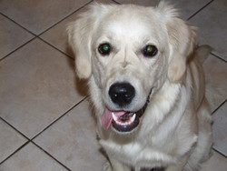 Dehlia, chien Golden Retriever
