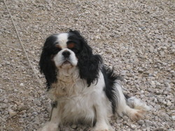 Ultime, chien Cavalier King Charles Spaniel
