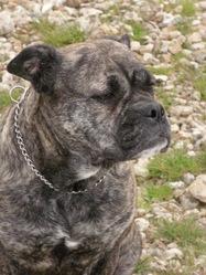 Cayenne, chien Dogue de Majorque