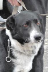 Méchoui, chien Border Collie