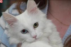 Fantine, chat Angora turc