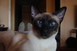 Dashang, chat Siamois