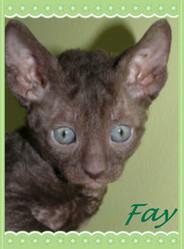 Fay, chat Cornish Rex