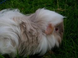 Gwenn, rongeur Cochon d'Inde