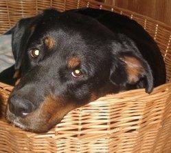 Clara, chien