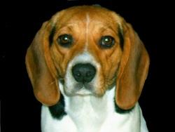 Chipie, chien Beagle