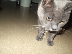 Mimine, chat Chartreux