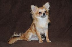 Elio, chien Chihuahua