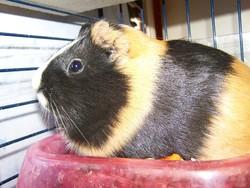 Zebulon, rongeur Cochon d'Inde