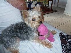 Dali, chien Yorkshire Terrier