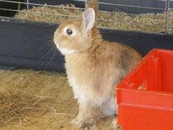 Coise, rongeur Lapin