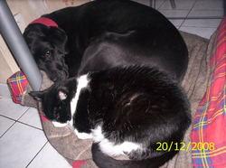 Schoupa, chien Labrador Retriever