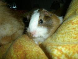 Praline, rongeur Cochon d'Inde