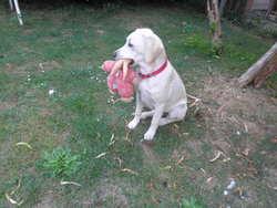 Aalyah, chien Labrador Retriever