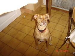 Aaron, chien Berger de Brie