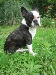 Aaron, chien Bouledogue français