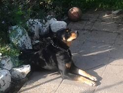 Aaron, chien Rottweiler