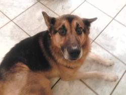 Aaron, chien Berger allemand