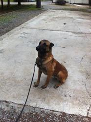 Aaron, chien Berger belge