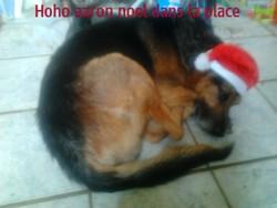 Aaron , chien Berger allemand
