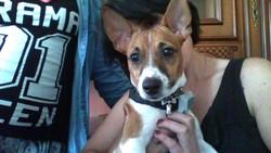 Aaron, chien Jack Russell Terrier