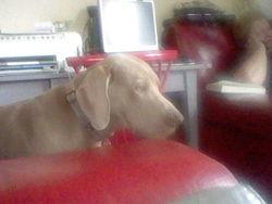 Bentley, chien Braque de Weimar