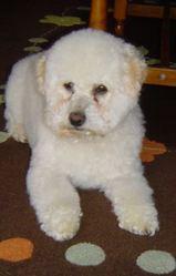 Fanfan, chien Bichon à poil frisé