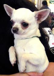 Bao-Li, chien Chihuahua