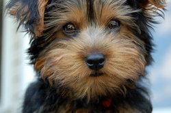 Monty, chien Yorkshire Terrier