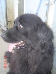 Bacara, chien Terre-Neuve