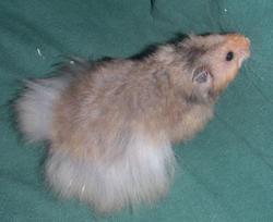 Mister Piggi, rongeur Hamster