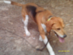 Aba, chien Beagle-Harrier