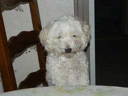 Abby, chien Bichon à poil frisé