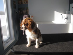 Abby, chien Cavalier King Charles Spaniel