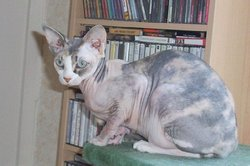Abby, chat Sphynx