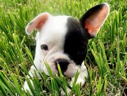 Abby, chien Bouledogue français