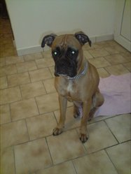 Abby, chien Boxer