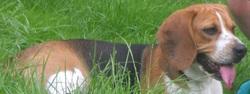Abby, chien Beagle