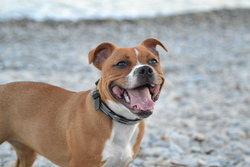 Abby, chien Staffordshire Bull Terrier